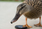 Curious duck — Stock Photo