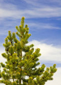 Pine tree against the sky — Stock Photo