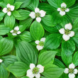 Ground Bunchberry - Stock Photo