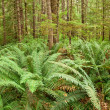 Stock Photo: Fern forest