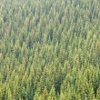 Coniferous Forest - Stock Photo