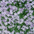 Carpet of Phlox Flowers — Stock Photo