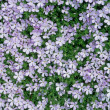 Stock Photo: Carpet of Phlox Flowers