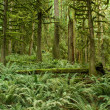 Stock Photo: Pacific Northwest Rainforest