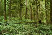 Pacific Northwest Rainforest — Stock Photo
