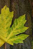 Bigleaf maple leaf — Stock Photo