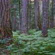 Stock Photo: Coastal Pacific Northwest forest