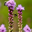 Bumblebees working a flower — Stock Photo