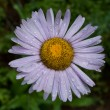 Stock Photo: Wet purple aster daisey
