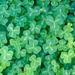 Redwood Sorrel (Oxalis oregana) - Photo