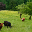 Stock Photo: Grazing beef cattle