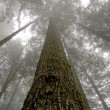 Towering Western Hemlock (Tsuga heteroph — Stock Photo