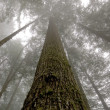 Stock Photo: Towering Western Hemlock (Tsugheteroph