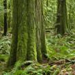 Stock Photo: Temperate pacific northwest rainforest s
