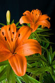 Domestic Tiger Lily — Stock Photo