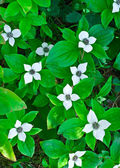 Dwarf bunchberry (Cornus canadensis) — Stock Photo