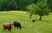 Grazing beef cattle — Stock Photo