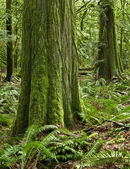 Temperate pacific northwest rainforest s — Stock Photo