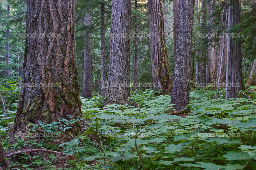 pacific northwest forest - photo #33