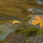 Autumn maple leaves along a stream — Stock Photo