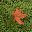 Maple leaf resting on cedar boughs — Stock Photo