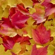 Stock Photo: Background of autumn maple leaves