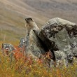 Hoary Marmot — Stock Photo