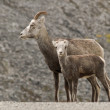 Stock Photo: Stone Sheep (Ovis dalli stonei)