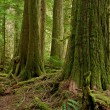 Stock Photo: Cedar old growth