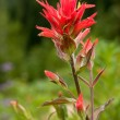 Indian Paintbrush — Stock Photo