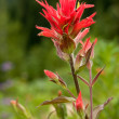 Indian paintbrush — Stockfoto