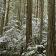 Stock Photo: Snow covered Fir Forest