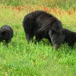 Three Black Bears - Stock Photo