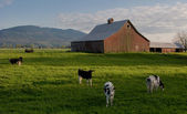 Grazing Dairy Cows — Stock Photo