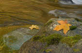 Autumn maple leaves along a stream — Stock Photo