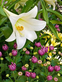 Blooming easter lily — Stock Photo
