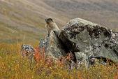 Hoary Marmot — Stock Photo