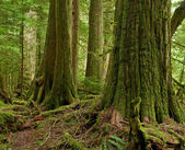 Cedar old growth — Stock Photo