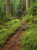 Old growth forest path portrait — Stock Photo