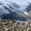 Wild goats in mountains — Stock Photo