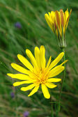 Sun flowers — Stock Photo