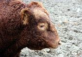 Toro rojo — Foto de Stock