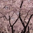Стоковое фото: Cherry Blossom trunks and flowers