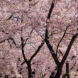 图库照片: Cherry Blossom trunks and flowers