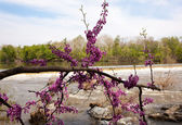 Close-up of red blossoms by Potomac Dam — Stock Photo