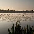 Ducks on Ellesmere Lake in sunrise light — Stock Photo #1036178