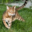 Bengal Tiger Cat staring at object — Stock Photo