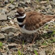 Close-up of Killdeer bird by nest — Stock Photo