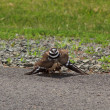 Close-up of Killdeer in aggressive pose — Stock Photo
