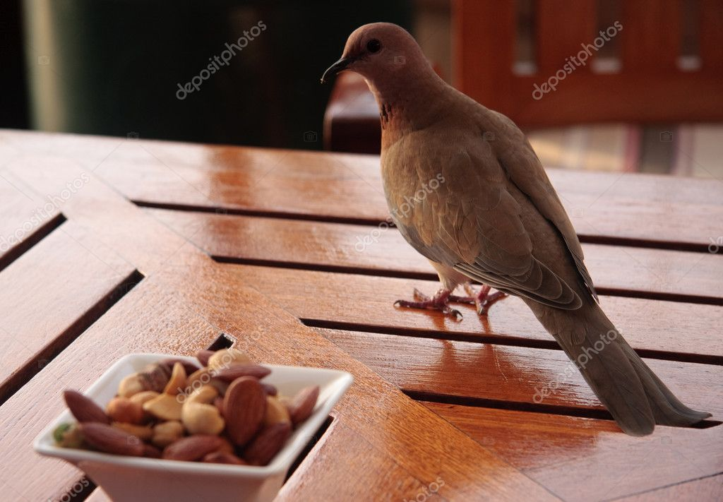 Close up of dove like bird looking at possible snack on a glossy table in a bar — Stock Photo #1093339